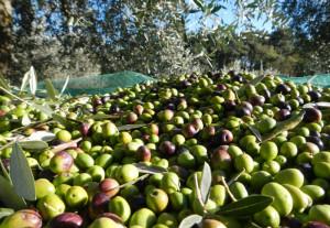 La Gemina d'Or - Raccolta Olive
