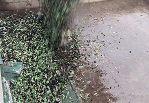 La Gemina d'Or - Lavorazione Olive